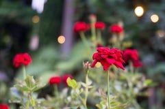 Красные розы в саде с светом bokeh стоковые фото