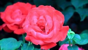 Красные розы в саде акции видеоматериалы