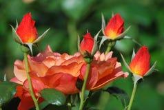 Красные розы в саде Стоковое Изображение RF