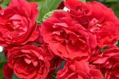 Красные розы в саде Стоковые Изображения RF