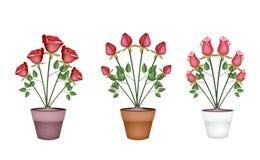 Красные розы в цветочных горшках дерева керамических Стоковое Изображение RF