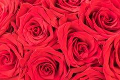 Красные розы для Wedding или предпосылки дня валентинок, конец-вверх, взгляд сверху Стоковое Фото