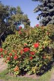 Красные розы лета в Москве Кремле Стоковые Фото