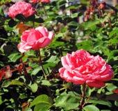 Красные розы лета в Москве Стоковое фото RF