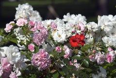 Красные розы лета среди роз других цветов Стоковая Фотография