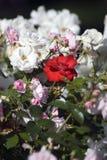 Красные розы лета среди роз других цветов Стоковые Изображения RF
