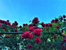 Красные розы, загородка и голубое небо Чувства и романтичные детали стоковое фото rf