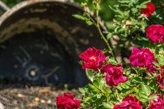 Красные розы зацветая весной время Стоковая Фотография