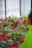 Красные розы зацветая в саде Стоковые Изображения
