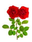 Красные розы изолировали белую предпосылку покрасьте изображение компьютера комбинации цвета произведенное цветком гармоничное го Стоковая Фотография