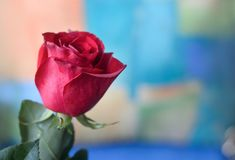 Красные розы на красочной предпосылке Стоковое Фото
