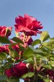 Красные розы на кустарнике Стоковое Фото