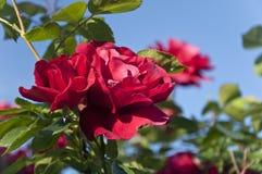 Красные розы на кустарнике Стоковая Фотография