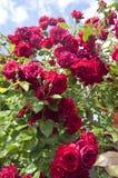 Красные розы на кустарнике Стоковое фото RF