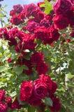 Красные розы на кустарнике Стоковые Фото