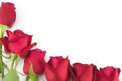 Красные розы с зеленой ветвью на белизне Стоковые Изображения