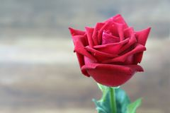 Красные розы с падением воды на предпосылке нерезкости Селективный фокус стоковая фотография rf