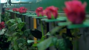 Красные розы установленные в технологическую линию фабрики 4K видеоматериал