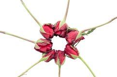 Красные розы цикла Стоковые Изображения