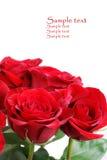 красные розы Стоковые Изображения RF