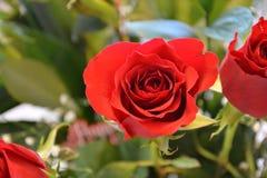 красные розы 2 стоковая фотография rf