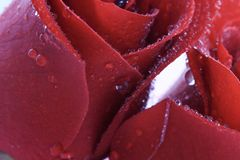 красные розы стоковое фото rf