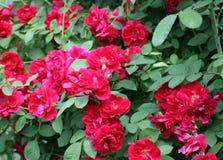 красные розы Стоковое Фото