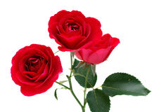 красные розы 3 Стоковые Фото