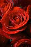Красные розы. стоковая фотография