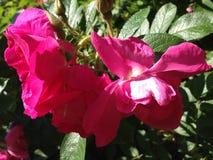 красные розы Стоковая Фотография