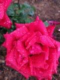 Красные розы Ooty стоковая фотография