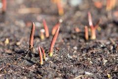 красные ростки Стоковая Фотография RF