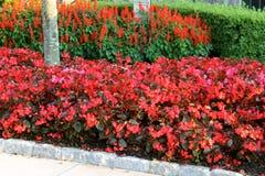 Красные рубиновые цветки Стоковое Изображение