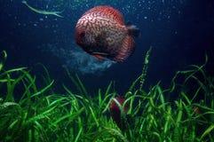 Красные рыбы диска дракона с заводами моря стоковые фотографии rf