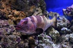 Красные рыбы морского окуня Стоковое Изображение