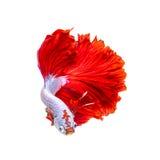 Красные рыбы дракона полумесяца Стоковое Изображение