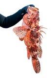 Красные рыбы скорпиона Стоковые Фотографии RF