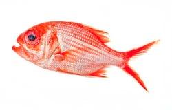 Красные рыбы nanigi australites Стоковая Фотография