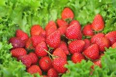 Красные свежие клубники на зеленых листьях Стоковые Изображения RF