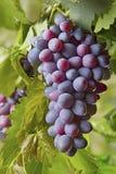 Красные связки винограда Стоковые Фотографии RF