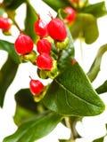 Красные семена завода зверобоя Стоковые Изображения