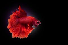 Красные сиамские воюя рыбы, Betta на изолированной черной предпосылке Стоковое Фото