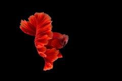Красные сиамские воюя рыбы, Betta на изолированной черной предпосылке Стоковое Изображение RF