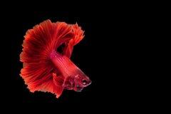 Красные сиамские воюя рыбы, Betta на изолированной черной предпосылке Стоковые Фотографии RF