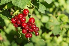 Красные смородины на ветви Стоковая Фотография