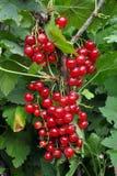 Красные смородины на ветви Стоковое фото RF