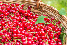 Красные смородины, органические красные ягоды Стоковые Изображения