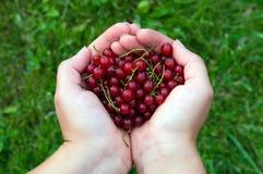 Красные смородины Стоковые Фото