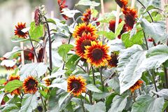 Красные солнцецветы на ботаническом саде в Дублине, Ирландии стоковые изображения