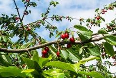 Красные сладостные вишни на ветви с водой падают после дождя в саде на предыдущий летний день Стоковое фото RF
